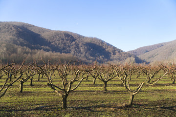 Springtime apple orchard and hills on background