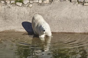 Female polar bear on the zoo. Nature environment