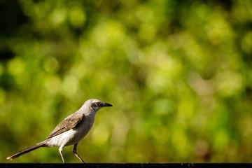 little birds in Surinam