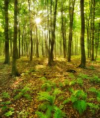 Die Sonne strahlt durch naturnahen Buchenwald, Farn bedeckt den Waldboden