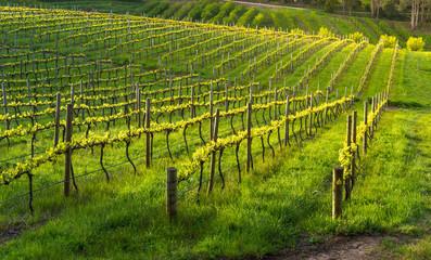 Fototapete - Afternoon sun over beautiful vineyard