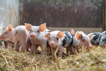 Schweinezucht - süße, kleine Ferkel spielen im Stroh