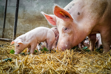 Bio - Schweinehaltung, Muttersau mit Ferkeln