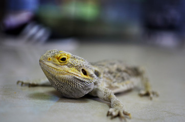 Gecko sitting on the table and looking at the camera