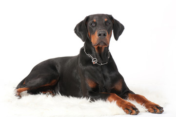 dog breed dobermann big guard protection power muscular black-brown color big ears chain pets domestic isolate