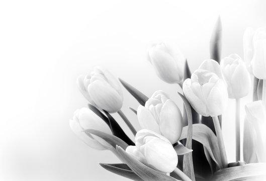 White tulips on white background bw