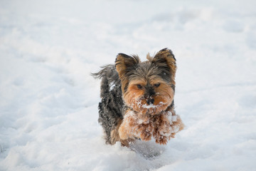 yorkshire terrier playing
