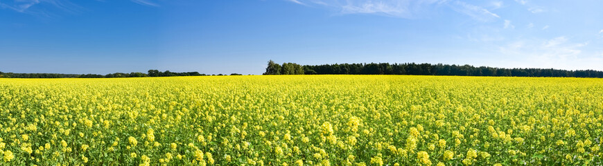 Ackerbau - gelb blühendes Rapsfeld, Panorama