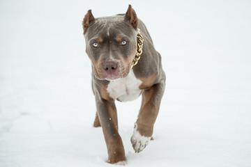 Welpe American Bully Pitbull im Schnee
