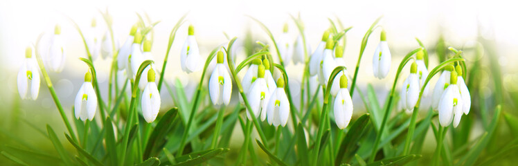 Snowdrop flowers background.