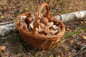 Brown cap boletus in the wicker basket on natural background..