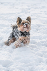 yorkshire terrier playing in the snow
