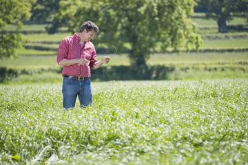 Farmer checking silage grass crop in field