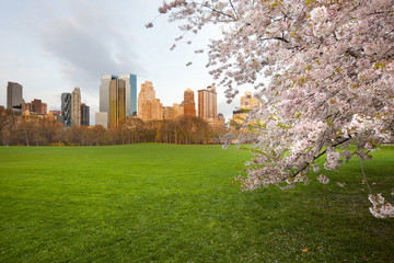 Cherry Blossom at Sheep Meadow in Central Park and Midtown skyline, New York City, NY, USA