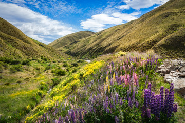 Lupines fields on the side of the road in New Zealand in December