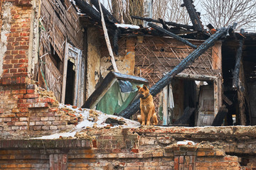 A faithful dog sits on the wall of an old destroyed house after a fire in the city
