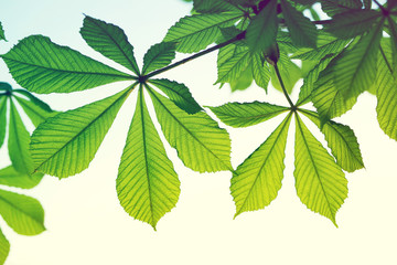 Bright young leaves of a chestnut. Spring background