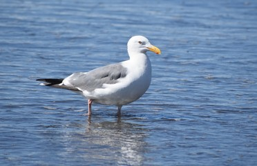 Seagull standing in water