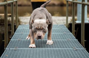 Hund Pitbull American Bully gefährlicher Blick