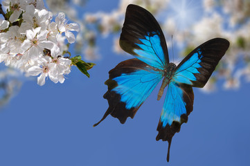 blue butterfly and white flowers 2