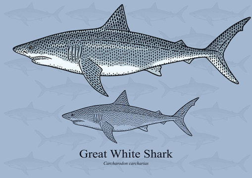 Great White Shark. Vector illustration with refined details and optimized stroke that allows the image to be used in small sizes (in packaging design, decoration, educational graphics, etc.)