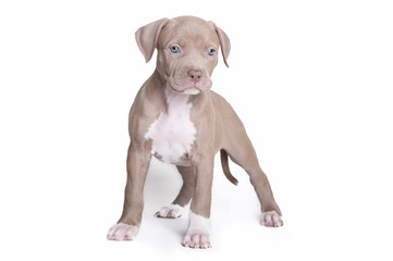 Welpe Pitbull American Bully isloiert