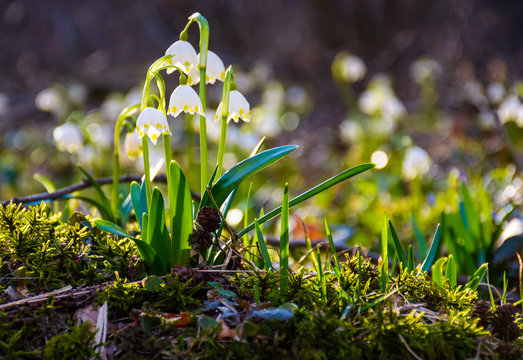 first flowers in springtime. spring snowflake also called Leucojum on a blurred background of forest meadow in sunlight. snowbell closeup.
