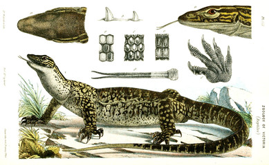 Illustration of the animal.