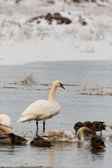 Single swan stands in partially frozen pond with other birds