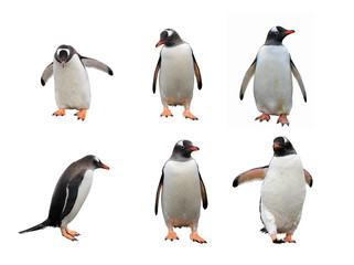 Gentoo penguin set isolated on white