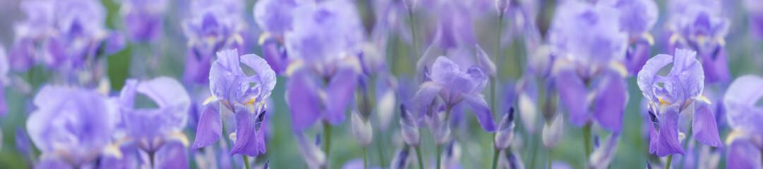 panorama spring background fresh  violet irises