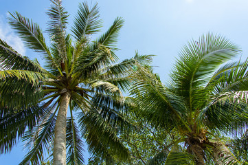 Beautiful two palm trees against the blue sky