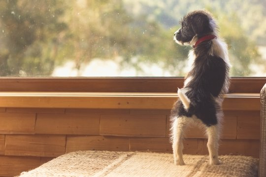 Cute puppy standing on couch of living room looking out the window to trees. Expectant, waiting concept