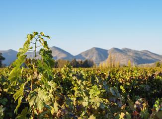 Santa Rita Vineyard, Alto Jahuel, Buin, Santiago Metropolitan Region, Chile