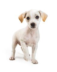 White Chihuahua Crossbreed Puppy