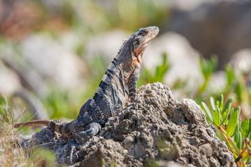 Black iguana (Ctenosaura similis), Key Biscayne, Florida