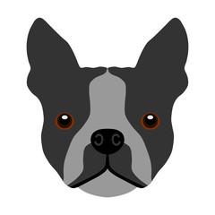 Französische Bulldogge mehrfarbig