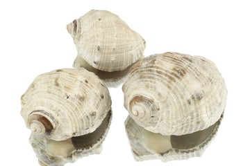 Three snail shells against a white background