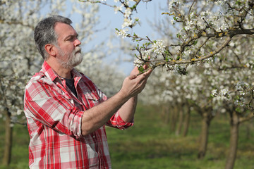 Agronomist or farmer examining blossoming plum trees in orchard