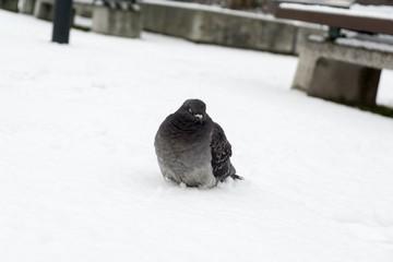 Pigeons on the snow. Slovakia