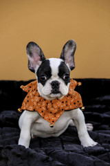 Black and White French Bulldog Puppy with Orange Outfit for Autumn
