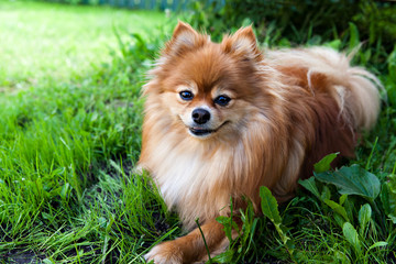 dog breed pomeranian  spitz on green grass on nature