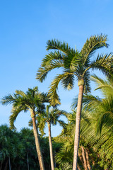 Palm trees on a blue sky background. Mexico, Riviera Maya.