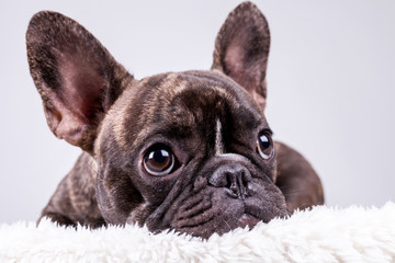 French bulldog lying with sad face
