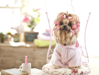 Yorkshire Terrier Dog Day at the Beauty Salon Spa Treatment