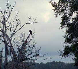 A large predatory bird against an early morning cloudy sky