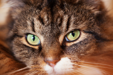 Close up of beautiful green cat eyes of a tabby cat with selective focus.