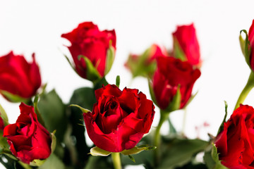 Close up, selective focus shot of spray or bouquet of red roses as gift for Valentine's Day and romantic symbol for love on white background