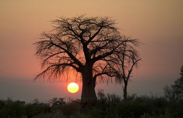 Africa, Botswana, Okavango  delta,  giant boab tree at sunset.