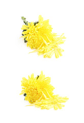 Yellow Chrysanthemums flower isolated